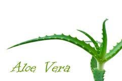 Aloès vert Vera de lame Photographie stock