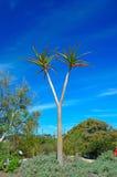 Aloés da árvore (barberae do aloés) imagens de stock royalty free