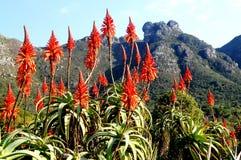 aloés deflorescência em jardins botânicos de Kirstenbosch Imagens de Stock Royalty Free