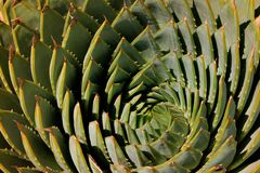 Aloés espiral Fotos de Stock Royalty Free