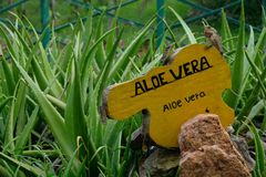 Aloés vera com iguana em um jardim picante em Sri Lanka, Ásia fotos de stock