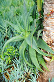 Aloés Vera - planta da cura Fotografia de Stock Royalty Free