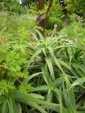 Aloés Vera Plants Rhodes, Grécia, ilhas gregas Imagens de Stock Royalty Free