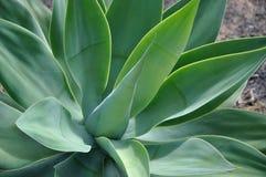 Aloés verde vera de Beautifull Foto de Stock