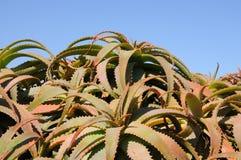 Aloë Vera Plants stock afbeelding