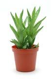 Aloë Vera in pot stock afbeelding