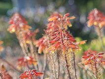 Aloëbloesem bij het Arboretum van de Provincie van Los Angeles & Botanische Tuin Stock Fotografie