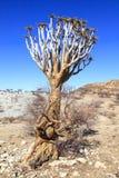 Aloëboom in de woestijn in Namibië royalty-vrije stock foto's