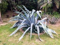Aloëtype succulente installatie stock foto
