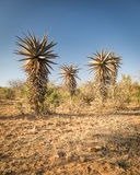 Aloë Vera Trees Africa Royalty-vrije Stock Foto