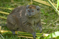 Aloatra bamboo lemur Royalty Free Stock Photo