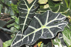Alocasia amazonica, Elephant`s ear, Royalty Free Stock Images