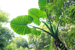 Alocasia Stock Photography