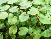 Alocasia Cucullata στοκ εικόνες