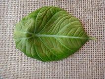 Leaf - Black velvet, elephant`s ear or dwarf alocasia Stock Photos
