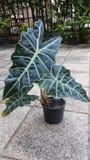 Alocasia, houseplant popular Fotos de Stock Royalty Free