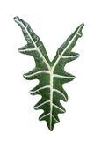 Alocasia, Kris Plant, foglia isolata su fondo bianco Fotografia Stock Libera da Diritti