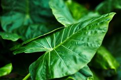Alocasia leave background Stock Photo