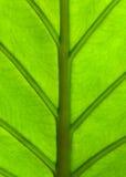 Alocasia machrorhiza Stock Images