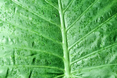 Alocasia Macrorhiza Stock Photos