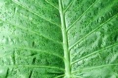 Alocasia Macrorhiza Stock Photos