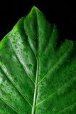 Alocasia Macrorhiza isolato sul nero Fotografie Stock