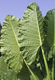 Alocasia macrorrhiza - giant elephant ear plant Stock Images