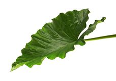 Alocasia odora foliage Night-scented lily or Giant upright elephant ear, Exotic tropical leaf, isolated on white background. With clipping path royalty free stock photography