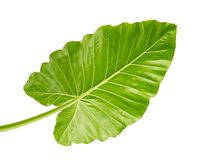 Alocasia odora foliage Night-scented lily or Giant upright elephant ear, Exotic tropical leaf, isolated on white background. With clipping path Stock Photography