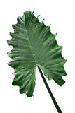 Alocasia Odora Leaf Royalty Free Stock Image