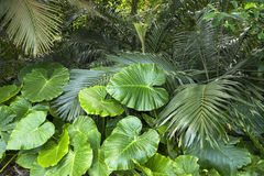 Alocasia odora leaves Royalty Free Stock Images