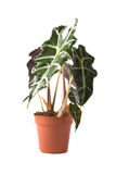 Alocasia Polly Royalty Free Stock Images
