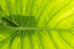 Alocasia rhizome leave background Stock Images
