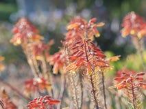 Aloe άνθος στο δενδρολογικό κήπο & το βοτανικό κήπο της Κομητείας του Λος Άντζελες Στοκ Φωτογραφία