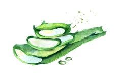 Aloe απεικόνιση της Βέρα Συρμένη χέρι σύνθεση Watercolor Ελεύθερη απεικόνιση δικαιώματος