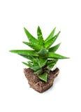 Aloe Βέρα απομόνωσε στην άσπρη ανασκόπηση στοκ εικόνες με δικαίωμα ελεύθερης χρήσης