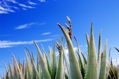 Aloe Βέρα στοκ εικόνες