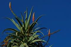 Aloe Βέρα Στοκ εικόνες με δικαίωμα ελεύθερης χρήσης