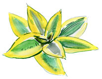 Aloe Βέρα Leaves watercolor Ελεύθερη απεικόνιση δικαιώματος