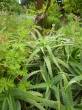 Aloe Βέρα Plants Ρόδος, Ελλάδα, ελληνικά νησιά στοκ εικόνες με δικαίωμα ελεύθερης χρήσης