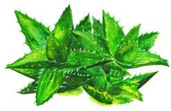Aloe Βέρα Watercolor απομόνωσε Διανυσματική απεικόνιση
