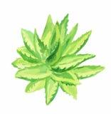 Aloe Βέρα Watercolor Διανυσματική απεικόνιση