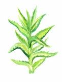 Aloe Βέρα Watercolor Στοκ φωτογραφία με δικαίωμα ελεύθερης χρήσης
