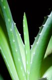 aloe βλάστηση Στοκ Εικόνες