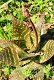 Aloe εγκαταστάσεις maculata στον κήπο στοκ εικόνες
