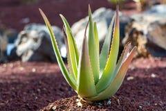 Aloe η φυτεία της Βέρα, καλλιέργεια aloe Βέρα, υγιής μας φυτεύει Στοκ Εικόνες