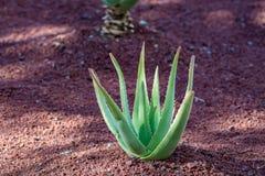 Aloe η φυτεία της Βέρα, καλλιέργεια aloe Βέρα, υγιής μας φυτεύει Στοκ εικόνες με δικαίωμα ελεύθερης χρήσης