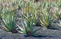 Aloe η φυτεία της Βέρα, καλλιέργεια aloe Βέρα, υγιής μας φυτεύει Στοκ Εικόνα