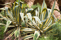 Aloe θάμνοι στοκ εικόνες