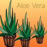 Aloe διανυσματική απεικόνιση Στοκ Εικόνες
